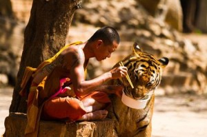 monk_and_tiger_sharing_their_meal_pic